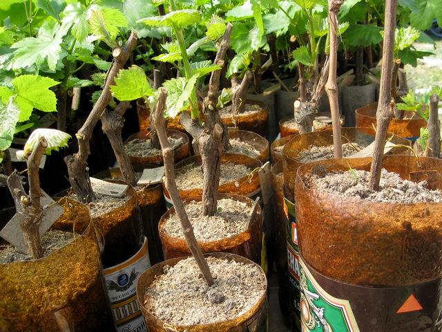Черенки винограда в пластиковых ёмкостях