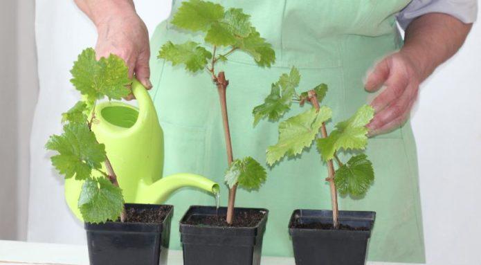 Как размножить виноград черенками как правильно делать в домашних условиях, советы для начинающих