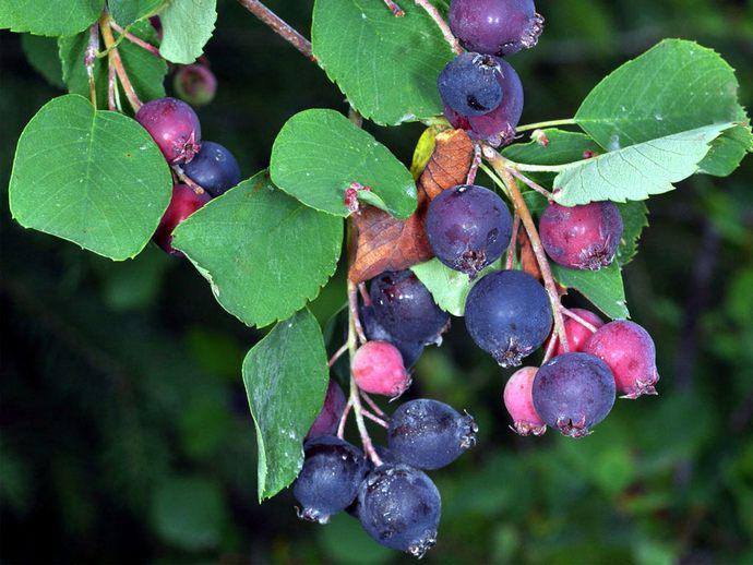 Созревающие ягоды ирги на ветке