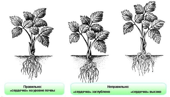 Схема посадки саженцев земляники