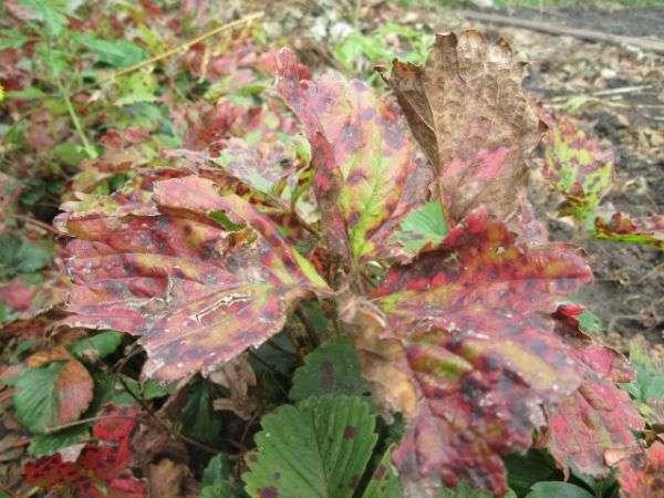 Бурая пятнистость на листьях земляники