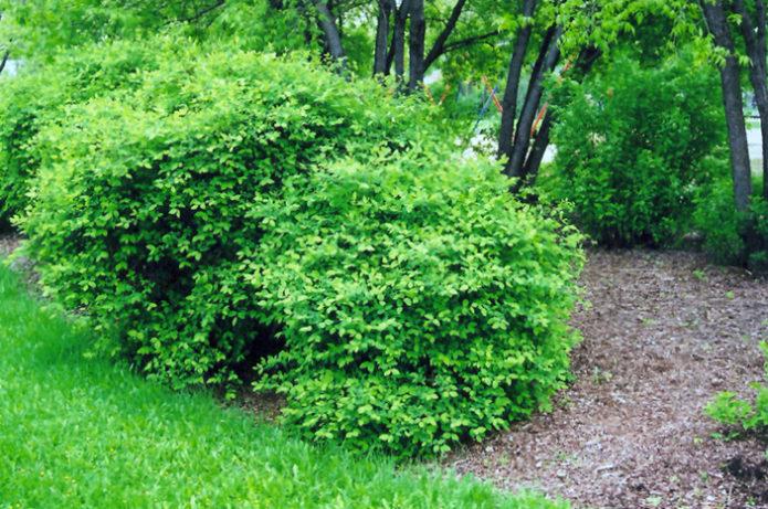 Подходящее место для выращивания жимолости