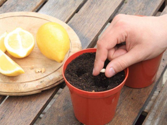 Посадка косточки лимона