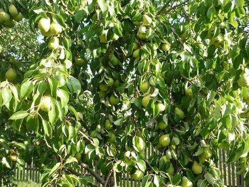 Урожайная груша Чижовская