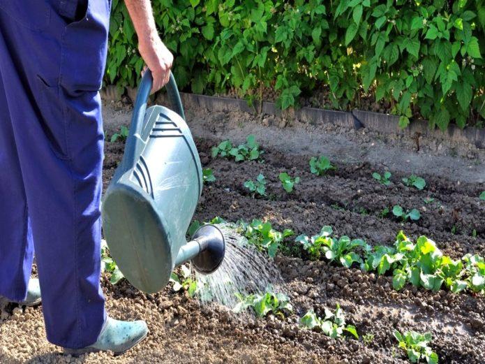 Полив и окучивание капусты