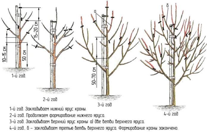Схема формирования разреженно-ярусной кроны груши
