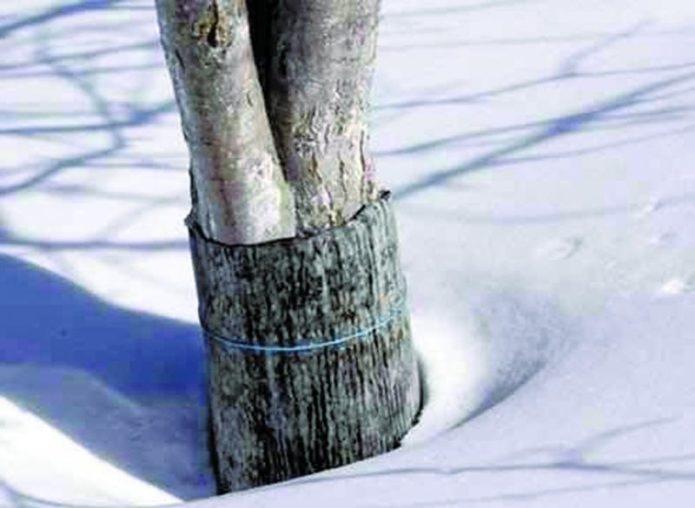 Грушевое дерево зимой