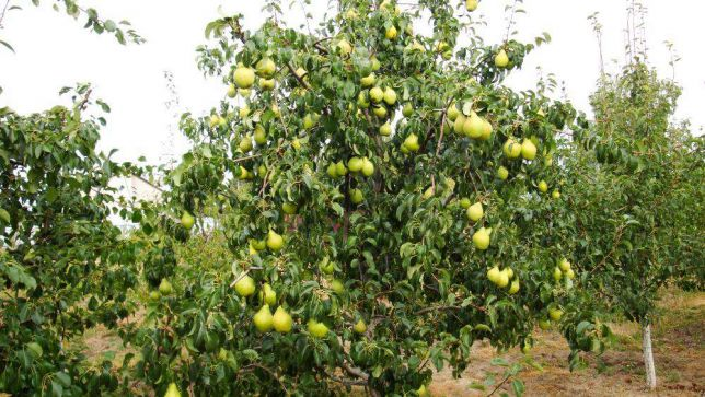 Грушевое дерево сорта Просто Мария