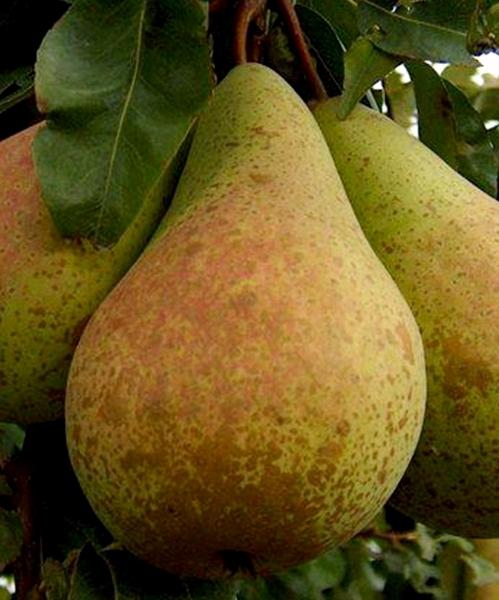 Плод груши Просто Мария