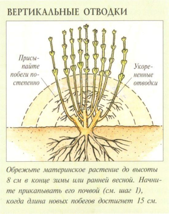 Схема размножения крыжовника вертикальными отводками