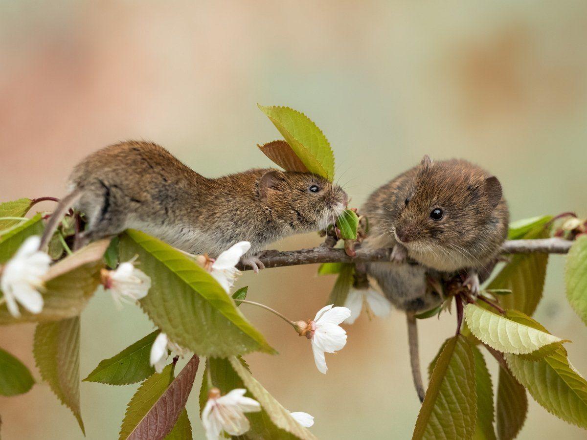 Яблоню обгрызли мыши