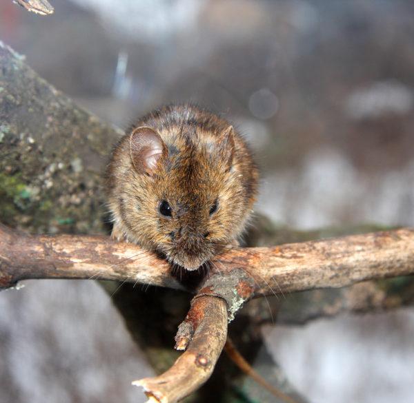 Дерево, обгрызенное мышами