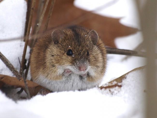 Мышь подгрызает дерево
