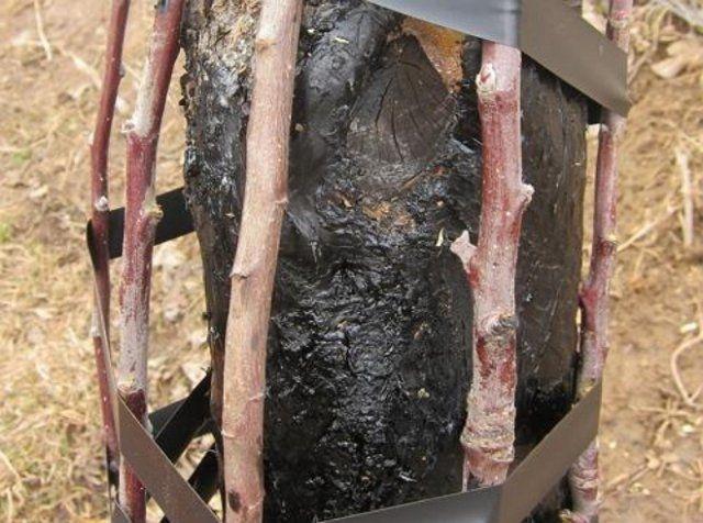 Прививка мостиком взрослого дерева