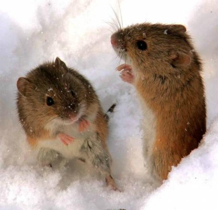 Мелкие грызуны в поисках пищи