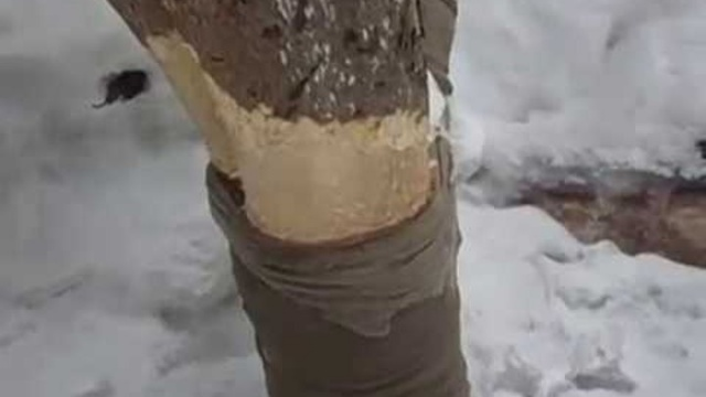 Обвязки дерева колготками