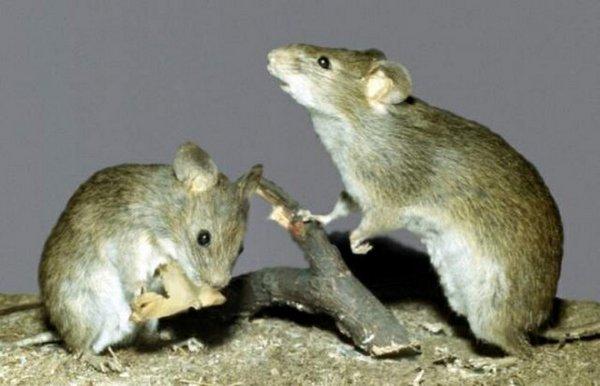 Мыши погубили дерево
