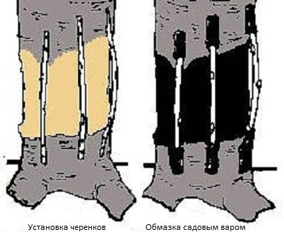 Установка черенков под кору