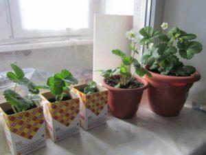 чем подкормить рассаду бегонии из семян