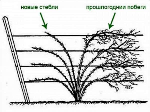Схема подвязки ежевики