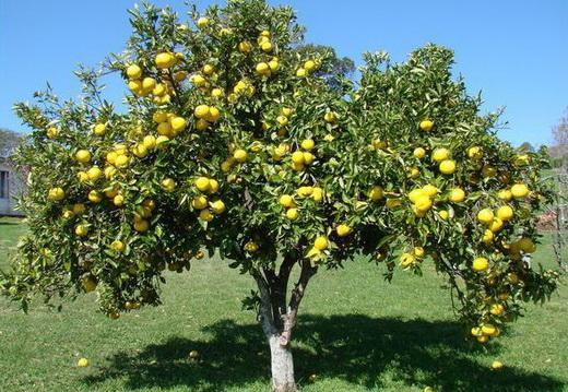 Плодоносящая груша