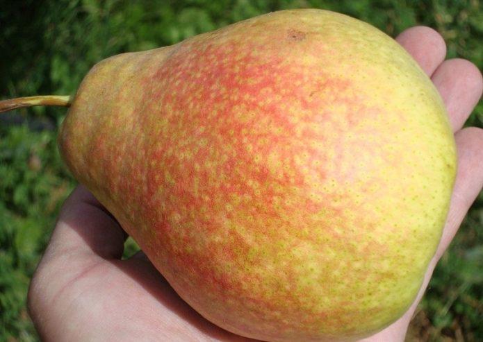 Плод груши Мраморной