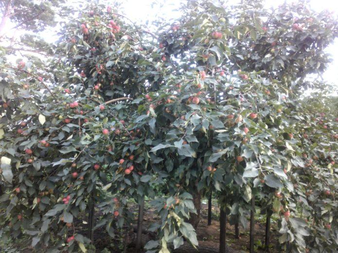 Яблоня Алёнушка