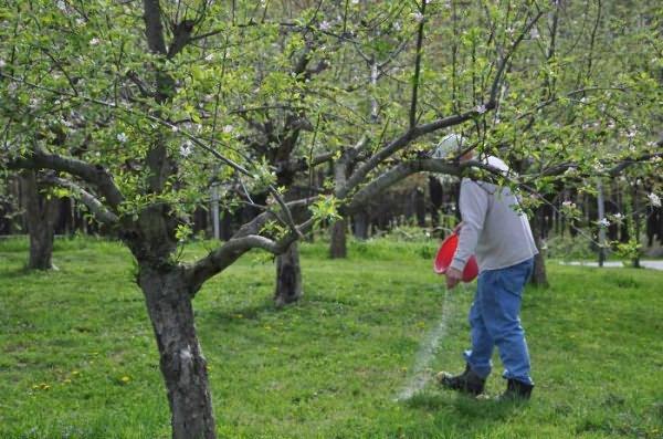 Подкормка взрослой яблони