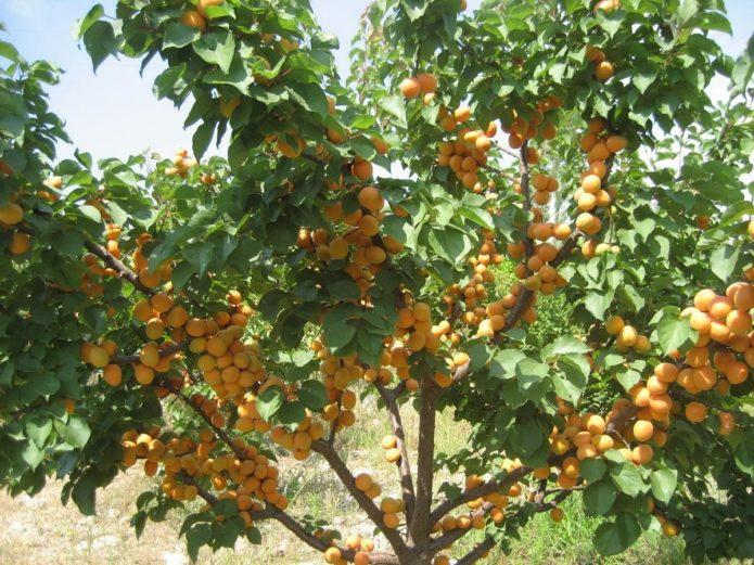 Подходящее место для абрикоса Краснощёкий