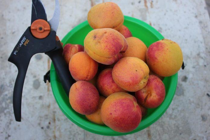 Урожай абрикоса Краснощёкий