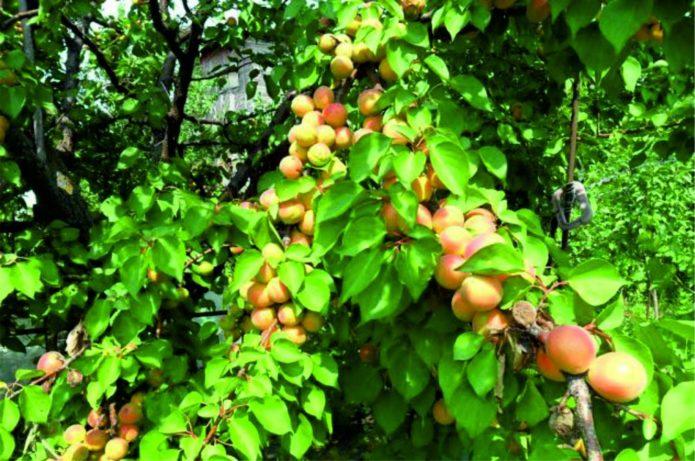 Дерево абрикоса Краснощёкий
