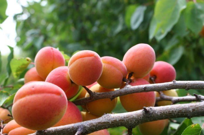 Плоды абрикоса Краснощёкий на ветке