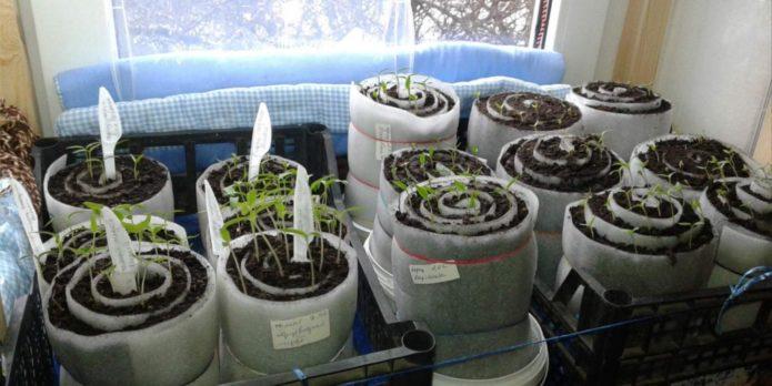 Посадка томатов в улитку