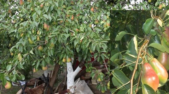 Дерево Талгарской красавицы
