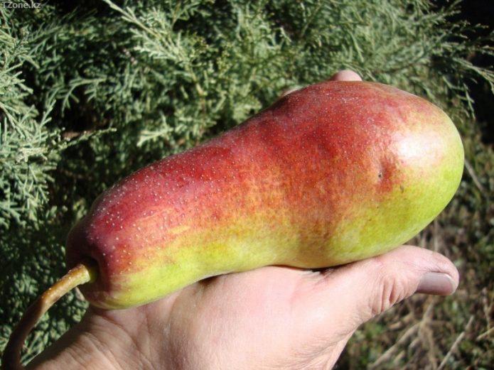 Плод Талгарской красавицы на ладони