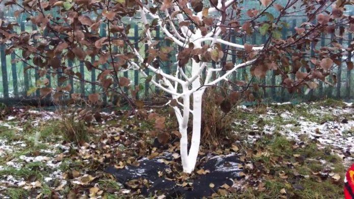 Подготовка взрослой груши к зиме