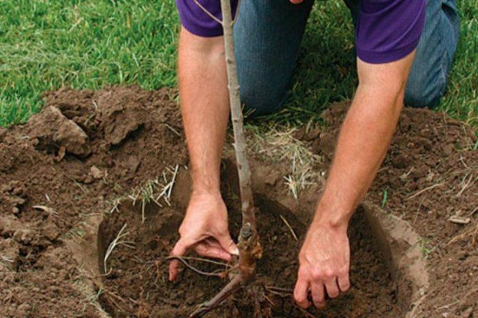 Высадка саженца алычи в грунт