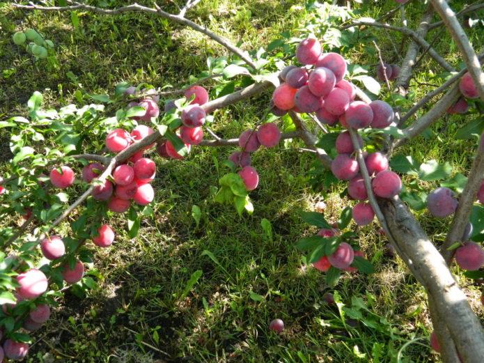 Плоды алычи Кубанская комета на дереве