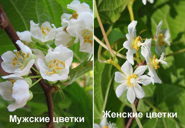 Мужские и женские цветы актинидии коломикты