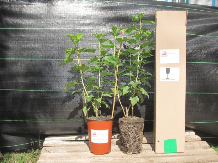 Посадка саженцев смородины весной и осенью когда и как сажать