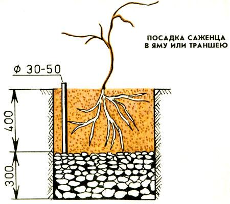 Посадочная яма для актинидии