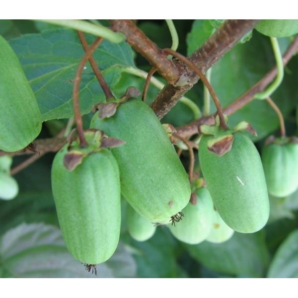 Сорт акттинидии коломикта Лакомка