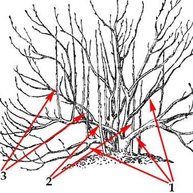 Ветви куста крыжовника