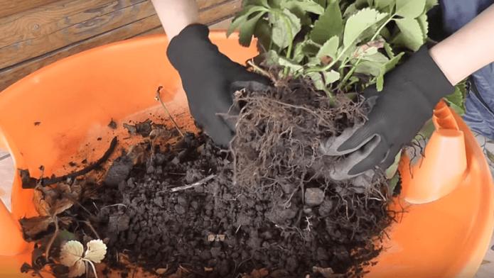 Освобождение корней от земли