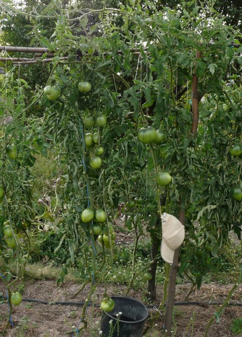Шпалера для томатов