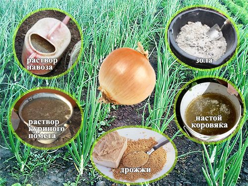Подкормка лука органическими удобрениями