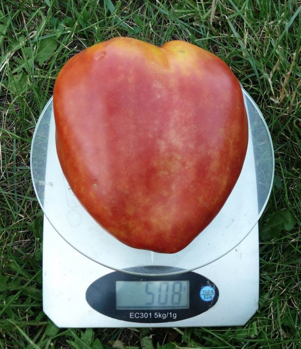 Плод томата Бычье сердце на весах