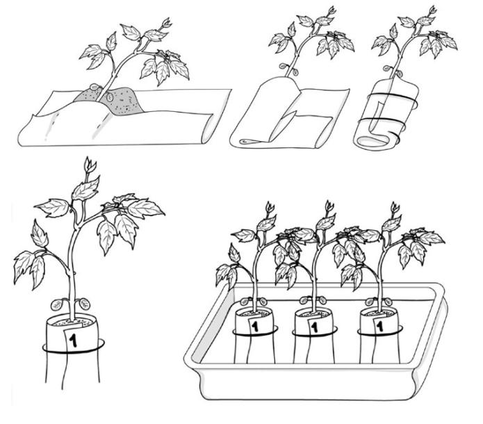 Пикировка томатов в пелёнки