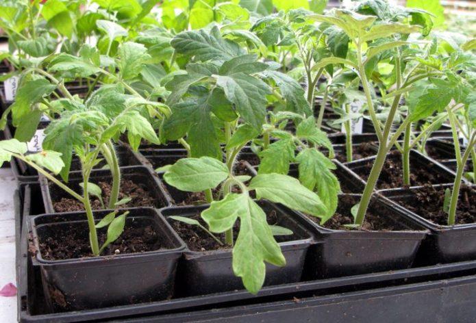 Рассада томатов в отдельных ёмкостях