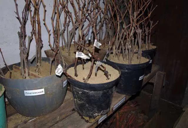 Хранение черенков винограда в подвале